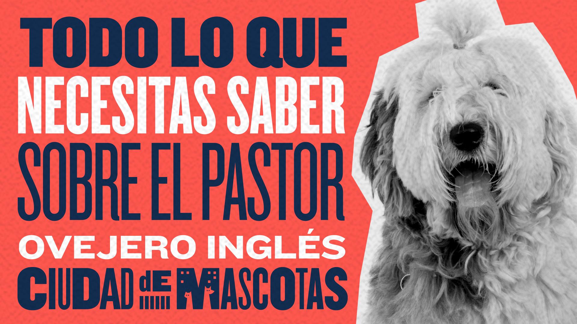 Pastor Ovejero Ingles