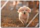 Rompecabezas Acrílico Cachorro Golden Retriever