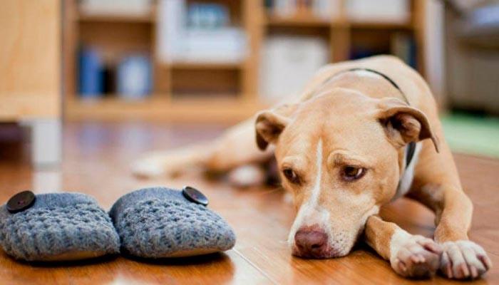 Ansiedad en perros por separación - Causas y tratamiento