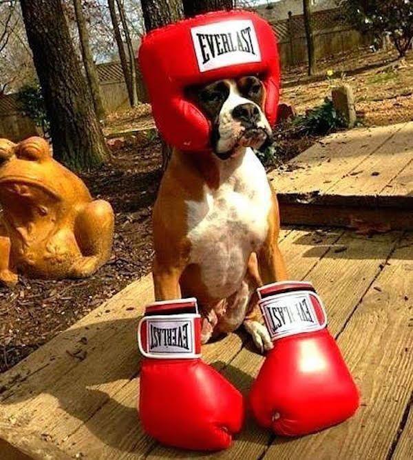 Disfraz para perro boxer