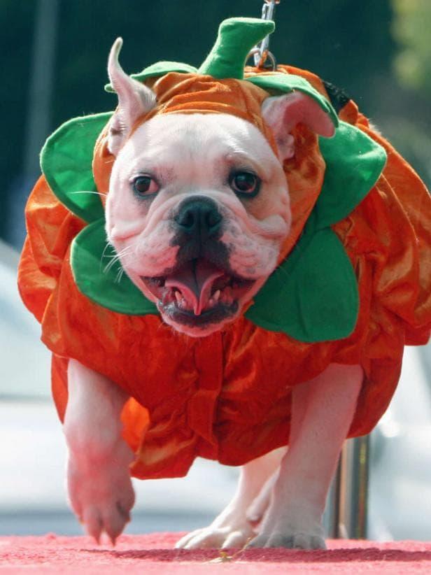 disfraz para bulldog
