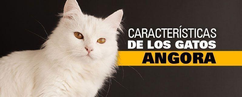 características de los gatos angora