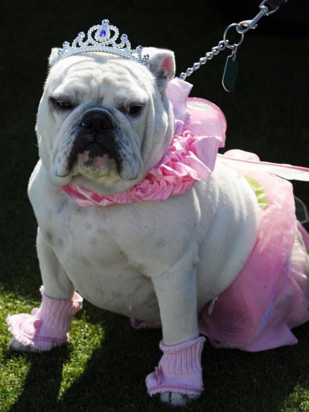 Disfraz para bulldog de princesa