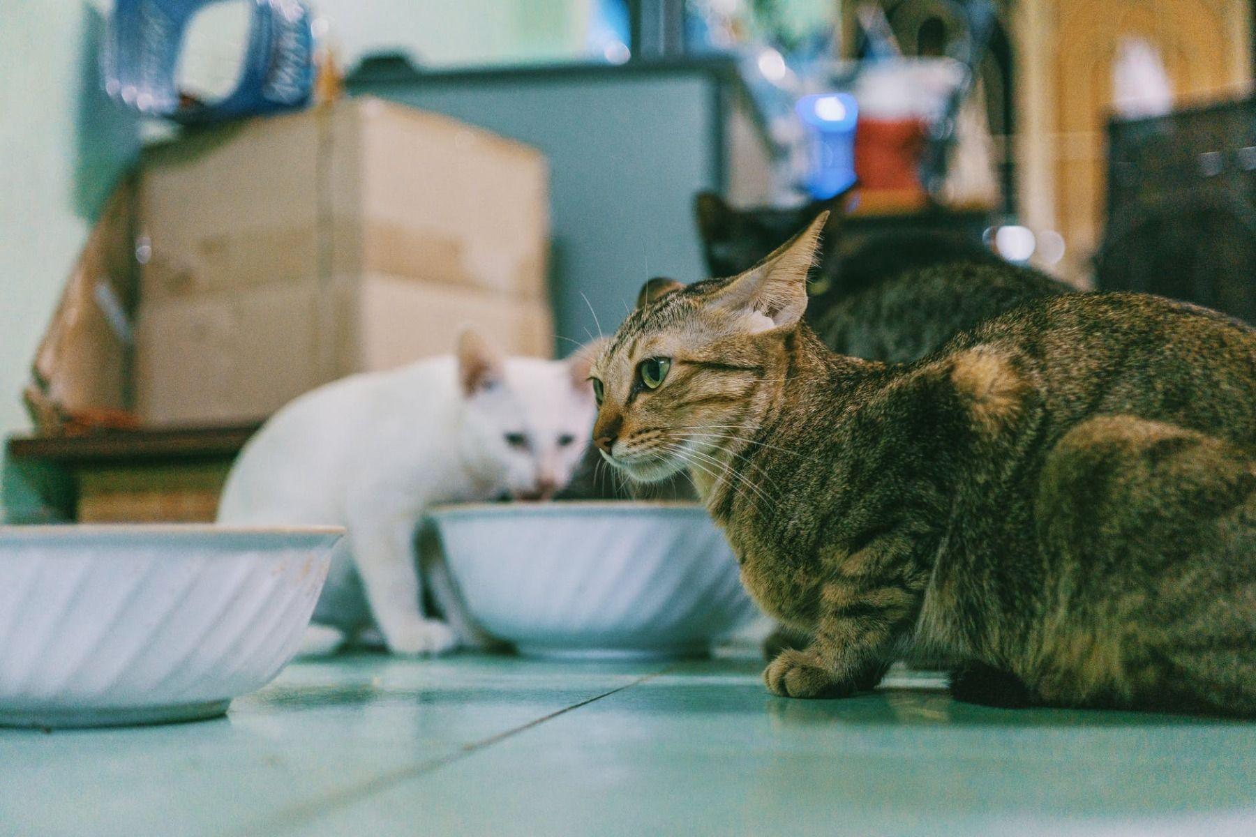 Cuál es la mejor comida para gatos - Ciudaddemascotas.com