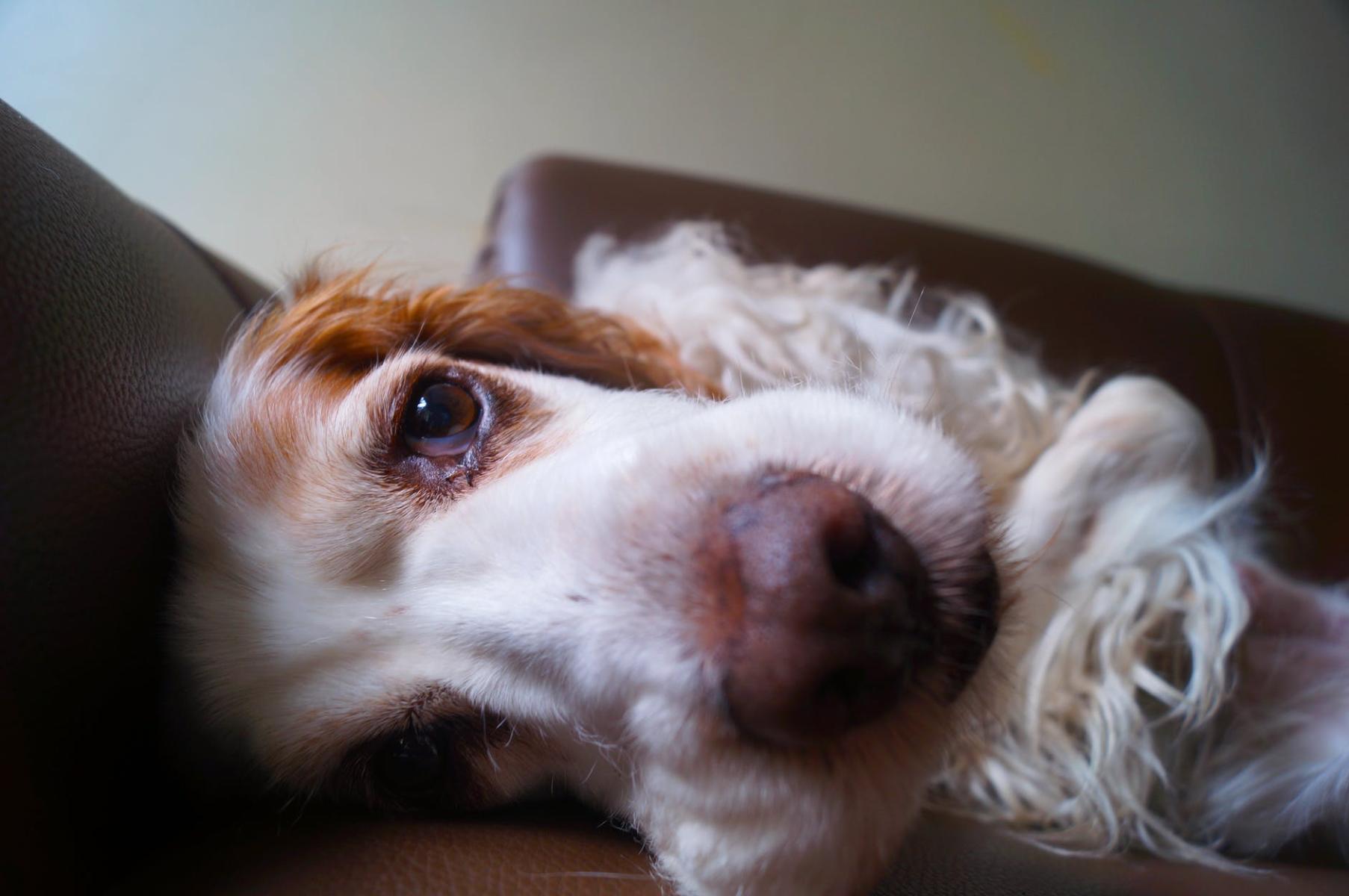 ¿Por qué se le cae el pelo a los perros? Consejos y tips